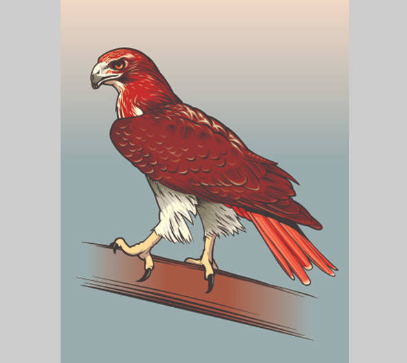 Red-tailed hawk illustration